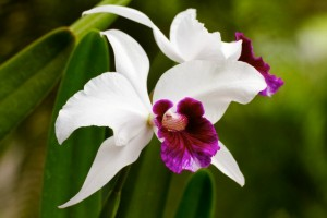 Cattleya orchid in Hawaii